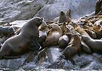 Steller sea lions, Glacier Bay National Park and Preserve, Alaska