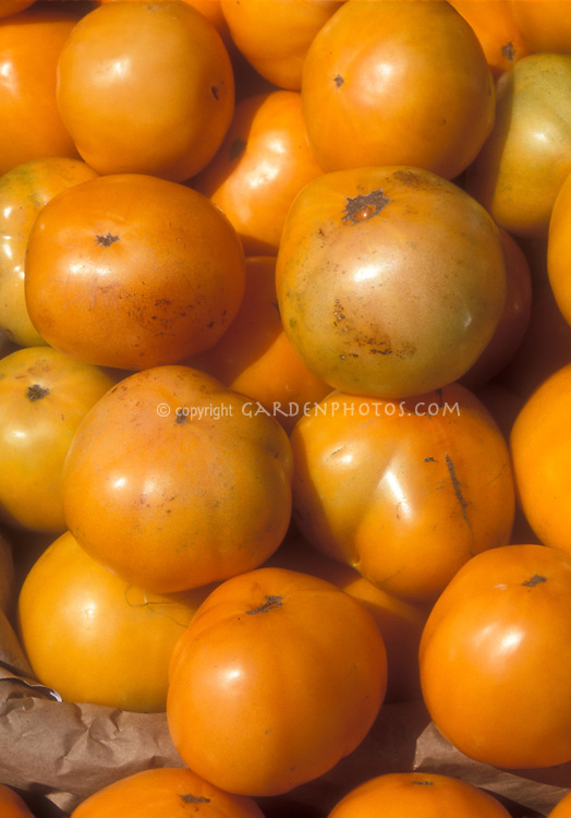 Orange gold heirloom tomatoes Nebraska Wedding, picked and in piles