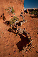 Utah Juniper (Juniperus osteosperma) at Devils Garden, Arches National Park, Utah, US