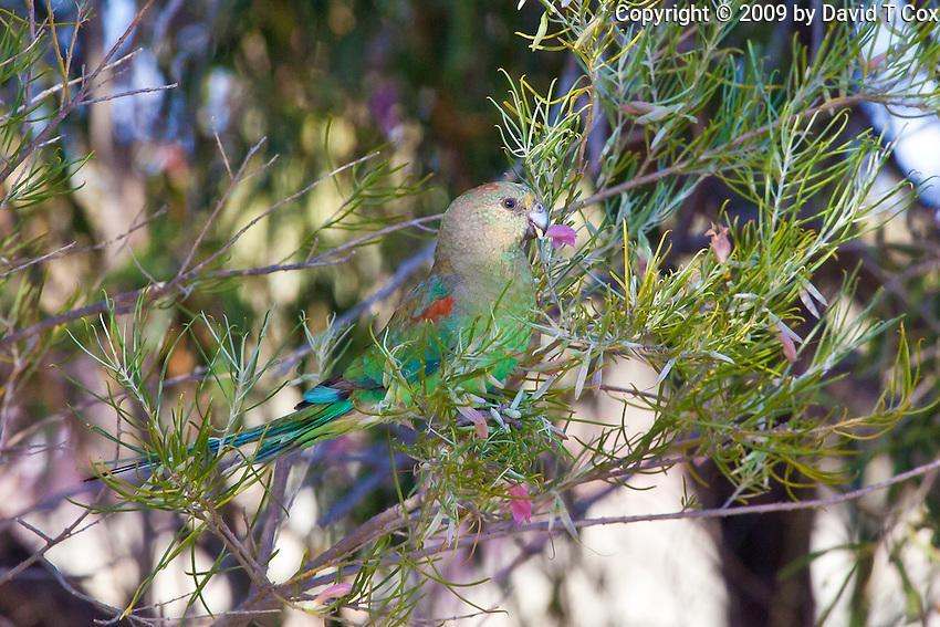 Mulga Parrot female, Arid Lands Botanic Garden, Pt Augusta, SA, Australia