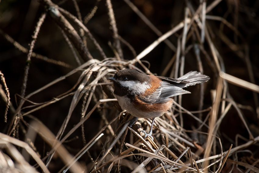 Chestnut-backed Chickadee, coastal Southcentral Alaska.