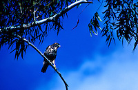 The endangered i'o, Hawaiian hawk, (species: buteo solitarius) sacred to Hawaiian culture as an aumakua, perches on a tree branch with a clear blue sky in the background.