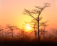 Foggy sunrise light through Dwarf Cypress trees; Everglades National Park, FL