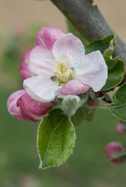Blossom of Apple 'Tyler's Kernel', late April. An English culinary apple bred by Mr Tyler of Hereford in about 1883.