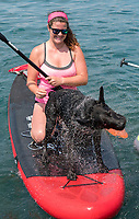 When it's hot it's easy to jump in the water to cool off. Miggie, a black Labrador retriever  couldn't resist cooling off while paddle boarding with her master, Vanessa Savage, of British Columbia. Vanessa was visiting relatives in Sarnia and enjoying a paddle with her friends, Kristyn Herygers and Kaitlyn Pelkie, both of Watford.