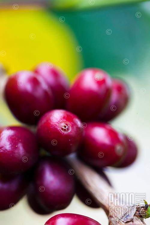 Ripening coffee cherries at a Kona coffee plantation on the Big Island