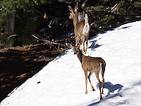 Deer - Whitetail/Mule Deer Cross
