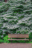 ORPTC_D138 - USA, Oregon, Portland, Crystal Springs Rhododendron Garden, White blossoms of viburnum in bloom and park bench.