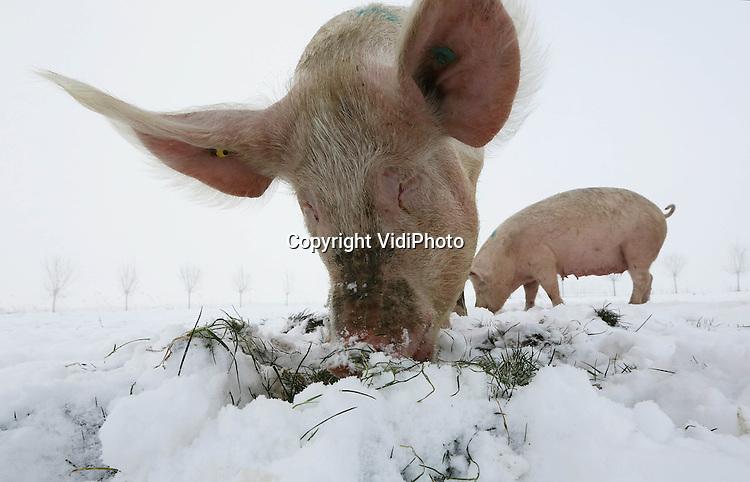 """Foto: VidiPhoto..HEDEL - Hoogzwanger en toch in je blootje de sneeuw in. De drachtige biologische zeugen van Andries en Janny van den Bogert uit het Gelderse Hedel mochten woensdag naar buiten. Het was even zoeken naar gras, maar onder de sneeuw bleek genoeg nog voorraad te liggen. Hoewel het niet verplicht is om biologische varkens in de winter naar buiten te sturen om het predikaat """"biologisch"""" te behouden, doet varkenshouder Van den Bogert dat toch regelmatig. De varkens blijken bovendien dol op sneeuw. De biologische varkensboer heeft in totaal 1600 biologische varkens. In de winter krijgen ze wel extra krachtvoer.."""