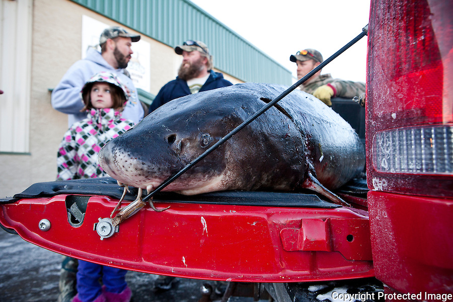 Carrie Seelow's 155 lbs sturgeon sits on the back of the pick up truck waiting for a ride home. Carrie's family brought the catch of the day over to Woodeye's Bar in Winneconne, WI to celebrate with other vicorious fishermen and women on opening day.