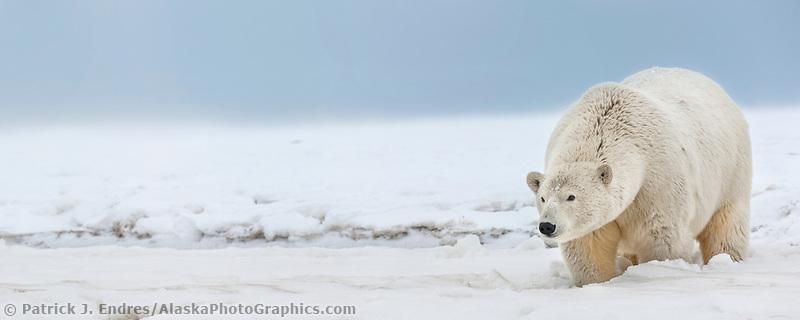 Polar bear on an island in the Beaufort Sea on Alaska's arctic coast.