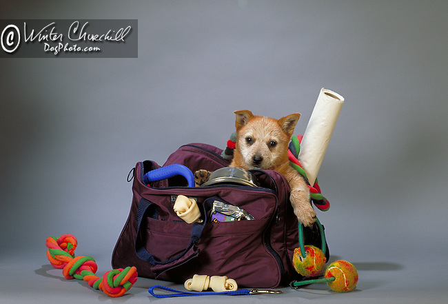 Australian Cattledog puppy with toys<br /> <br /> Shopping cart has 3 Tabs:<br /> <br /> 1) Rights-Managed downloads for Commercial Use<br /> <br /> 2) Print sizes from wallet to 20x30<br /> <br /> 3) Merchandise items like T-shirts and refrigerator magnets