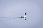 Western Grebe swimming at Island Park Reservoir in Idaho