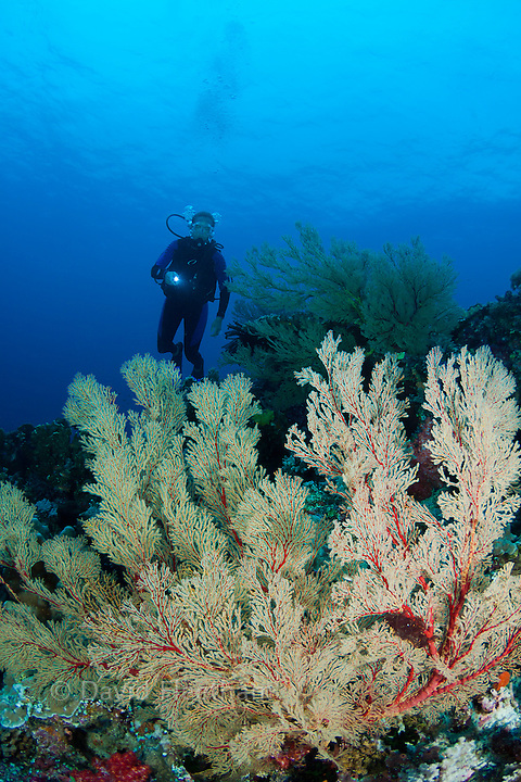 Diver (MR) with gorgonian coral fans, Tubbataha Reef, Philippines.