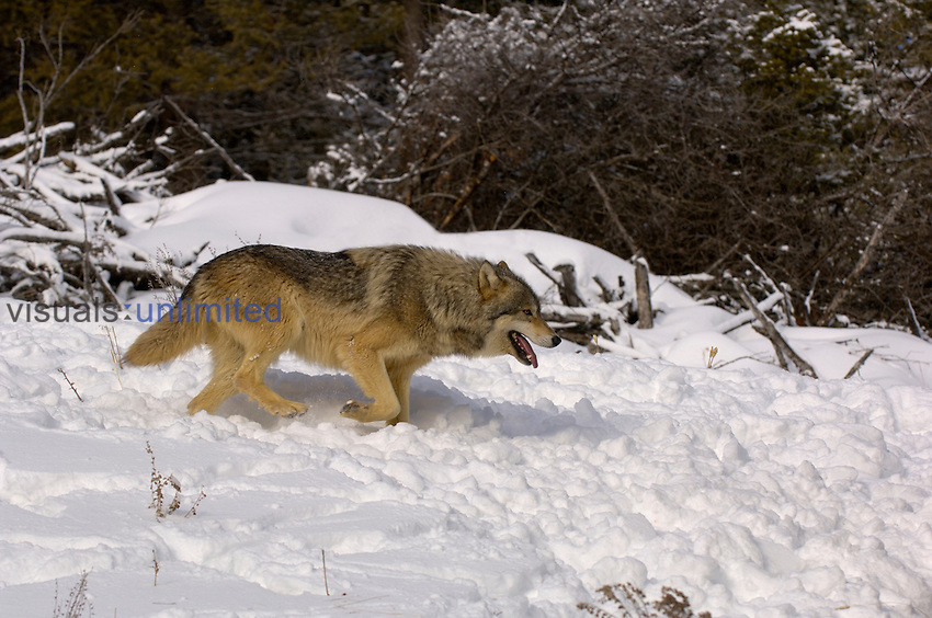 Gray Wolf (Canis lupus) running in snow.