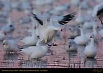 Snow Goose Landing at Dawn, Bosque del Apache Wildlife Refuge, New Mexico