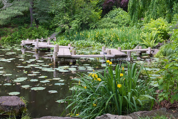 Water garden pond with boardwalk dock, Iris pseudacorus (yellow flag, yellow iris, water flag)