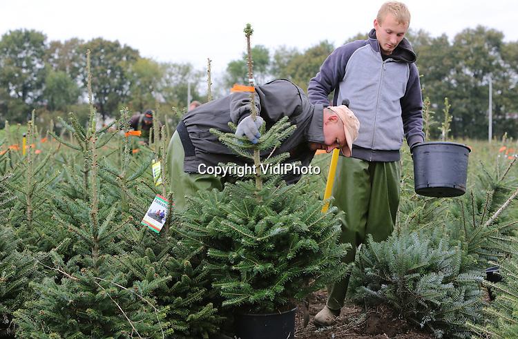Foto: VidiPhoto<br /> <br /> OENE - Personeel van kwekerij De Buurte in Oene is vanaf dinsdag al in kerstsfeer. Op een van de percelen van het bedrijf werden de eerste kerstbomen gestoken en opgepot voor de Duitse markt. Tot Kerst worden er zo'n 80.000 kerstbomen gerooid en geleverd aan voornamelijk (90 procent) Nederlandse afnemers. De rest gaat naar diverse Europese landen. Omdat er een tekort is aan fijn- en blauwsparren, komen er zelfs uit grootleverancier Noorwegen orders binnen. De meeste landen hebben vooral Nordstar kerstbomen staan. De Buurte is een van de grootste kerstboomproducenten van ons land.