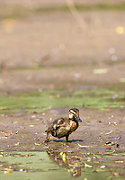 Baby mallard duckling in muddy swamp on a pond in Swinbrook, The Cotswolds, Oxfordshire, UK