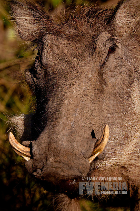 Warthog (Phacochoerus Africanus)..Portrait..Winter, May 2009..Hluhluwe-Imfolozi Game Reserve, Kwazulu Natal, South Africa.