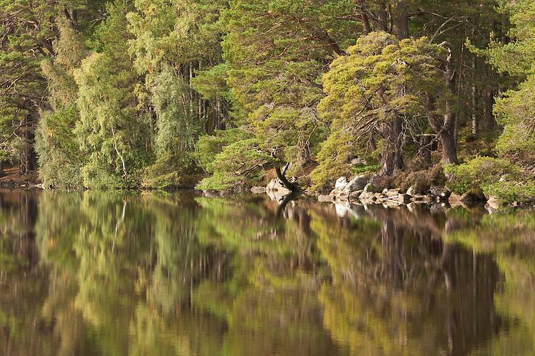 Forest reflections on Loch Garten, Abernethy Forest National Nature Reserve, Cairngorms National Park, Scotland, Uk