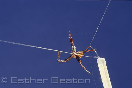 Small male St Andrews Cross spider choosing silk of a virgin female; Macquarie University biology dept