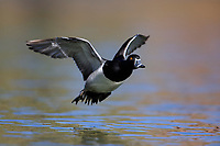 Ring-necked Duck (Aythya collaris), male in flight over a pond at Papago Park in Phoenix, Arizona.