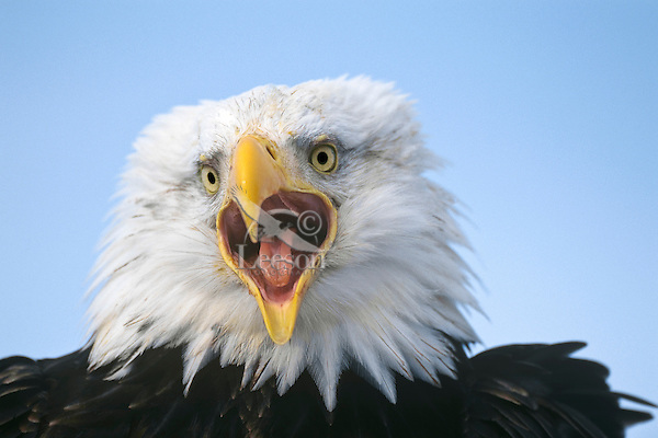 Bald eagle screaming (Haliaeetus leucocephalus)