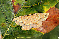 Bordered Beauty - Epoine vespertaria