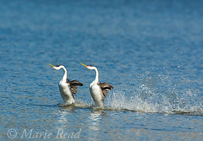 "Western Grebes (Aechmophorus occidentalis), pair performing ""rushing"" display, California, USA"