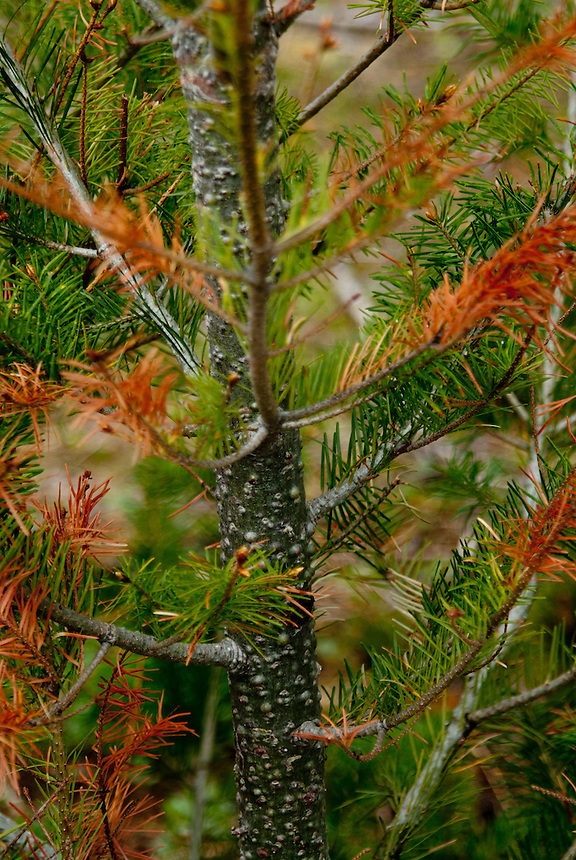 Young Pine Tree, Mt. St. Helens National Volcanic Monument, Washington, US
