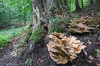 Riesenporling, Riesen-Porling, Totholz, Meripilus giganteus, giant polypore, black-staining polypore, giant polypore mushroom