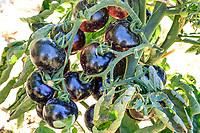 France, Indre-et-Loire (37), Montlouis-sur-Loire, jardins du château de la Bourdaisière, le potager conservatoire de la Tomate, tomate blue 'Belles Bacchantes'