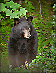 Black Bear in woods in North Carolina Mountains