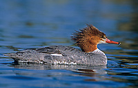559230006 a wild female common merganser mergus merganser swims in a pond in los angeles county calfiornia