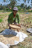 Bali, Indonesia.  Balinese Woman Sifting Rice from Straw after Harvesting the Grain.