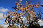 Yellow berries on ornamental crab apple tree set against blue sky, Suffolk, UK