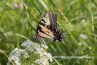 03023-03210 Eastern Tiger Swallowtail (Papilio glaucaus) on Slender Mountain Mint (Pycnanthemum tenuifolium) Marion Co. IL