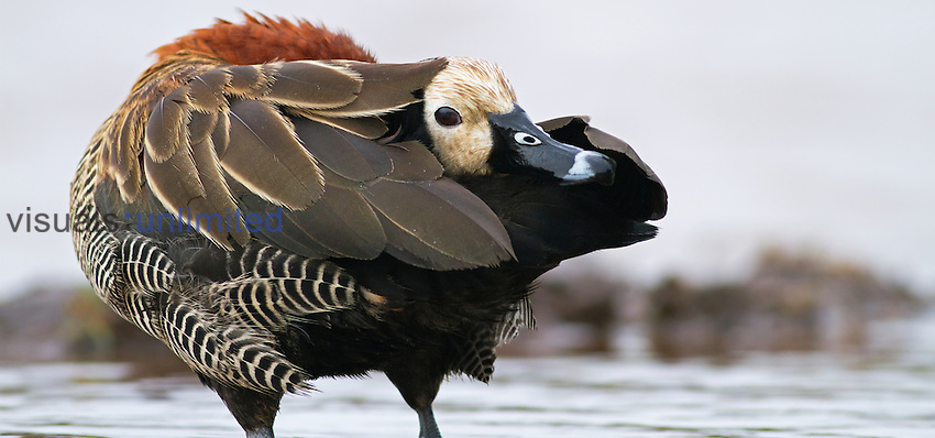 White-faced Whistling Duck (Dendrocygna viduata) preening, Masai Mara National Reserve, Kenya.
