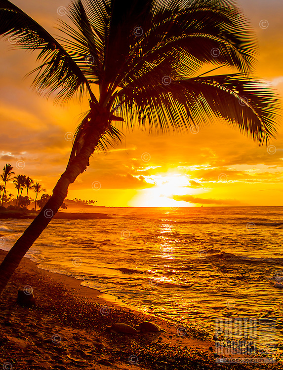 Two turtles lit by a golden sunset rest below a palm tree on Christmas day, Big Island.