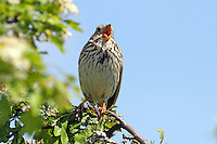 Grauammer, exponiert singend auf Sitzwarte, Grau-Ammer, Miliaria calandra, Emberiza calandra, corn bunting, Le Bruant proyer, Proyer d'Europe