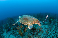Female Loggerhead Sea Turtle (Caretta caretta) equpped with PAT (pop-up archival tags) devices to help biologists from NOAA and conservation organizations like the Loggerhead Marinelife Center in Juno Beach, Florida, USA, Atlantic Ocean determine mortality rates and clutch frequency.