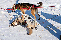 A Kristy Berington dog rolls in the snow after their arrival at the Elim checkpoint during the 2010 Iditarod