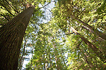 Ellsworth Creek Preserve, old growth forest, ancient forests, The Nature Conservancy, Washington Chapter, Emerald Edge Project, Willapa Bay, Naselle River drainage, Pacific County, Washington Coast, Washington State, Pacific Northwest, United States,