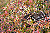 I finally had a brief glimpse of the bears eating Hawthorn berries along Moose-Wilson Road. I had to take this photo from the car.