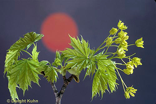 MP07-012b  Norway Maple - new leaves, sun, photosynthesis - Acer platanoides