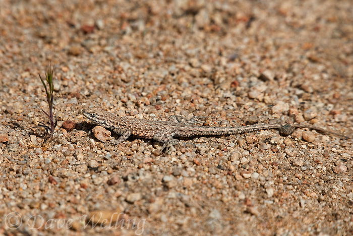 442000001 a wild nevada side-blotched lizard uta stansburiana nevadensis basks in the buttermilks near bishop owens valley inyo county california united states