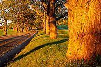 Maple lined gravel road at sunset, Darling Hill Road, Lyndon, Caledonia County, V