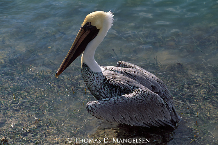 Brown Pelican sits in shallow water in the Florida Keys.