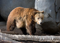0325-1002  Grizzly Bear, Ursus arctos horribilis  © David Kuhn/Dwight Kuhn Photography.